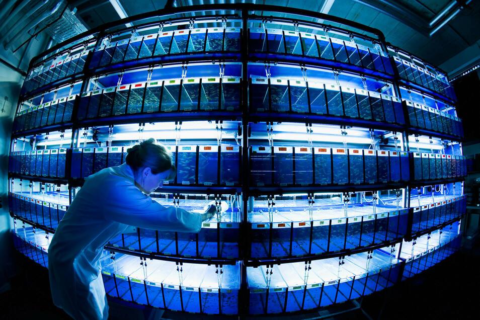 Der Zebrafisch hat Superkräfte. Er kann Herz und Hirn nach Verletzungen reparieren. Für die 550 Mitarbeiter des Dresdner Max-Planck-Instituts für molekulare Zellbiologie und Genetik ist er ein spannendes Forschungsobjekt.