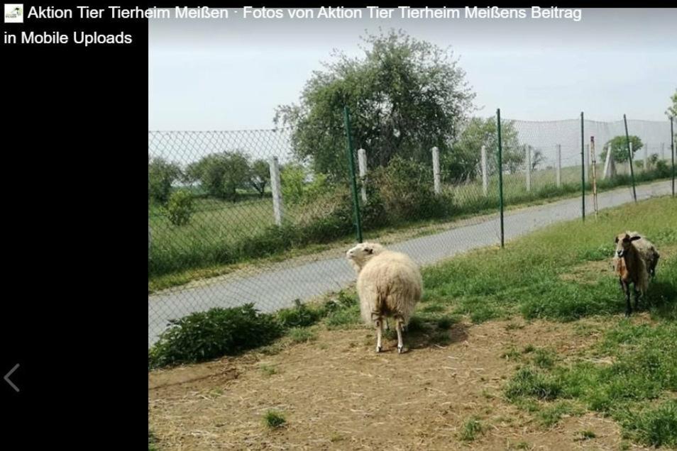 Das blinde weiße Schaf Lillifee hat seinen Kameraden Kamikaze verloren. Jetzt sucht das Tierheim Meißen-Winkwitz einen neuen Gefährten.