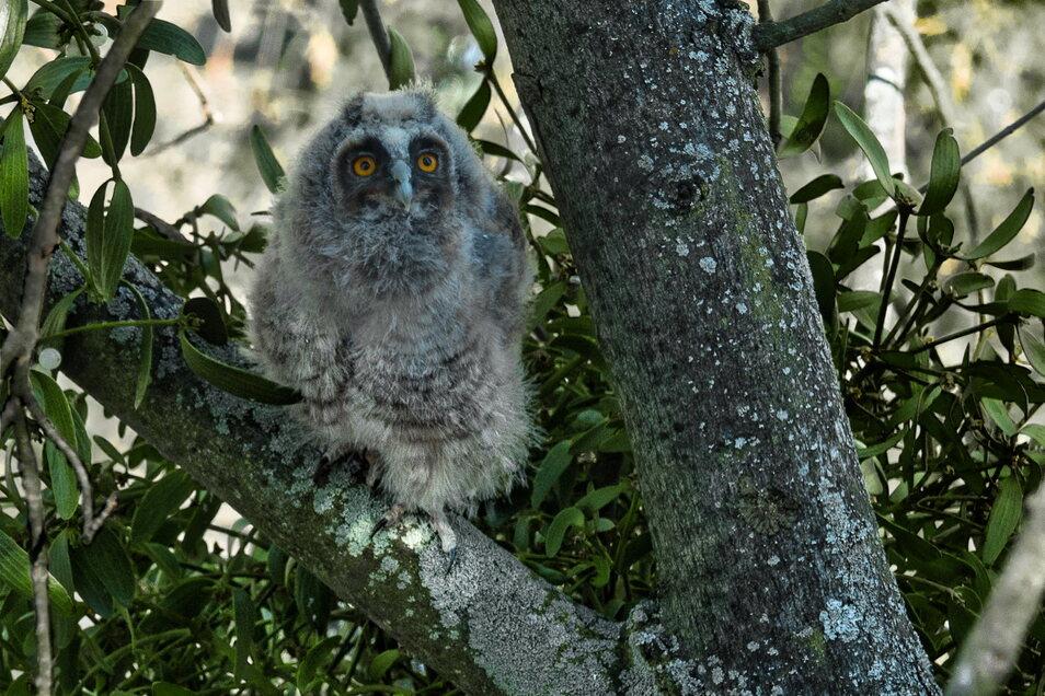 Die Jungtiere sind von dünnen grauen Dauen bedeckt und haben eine auffällige schwarze Gesichtsmaske. Schon gut erkennbar: die Ohren.
