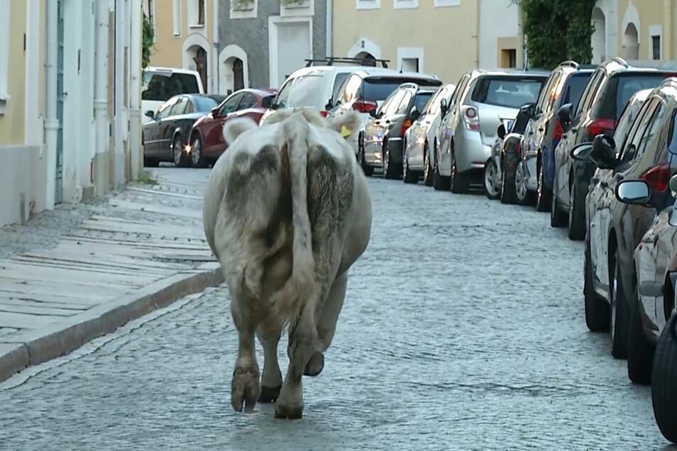 """Kuh """"Elma"""" hat Einsatzkräfte stundenlang auf Trab gehalten, weil sie durch die Innenstadt von Görlitz flüchtete."""