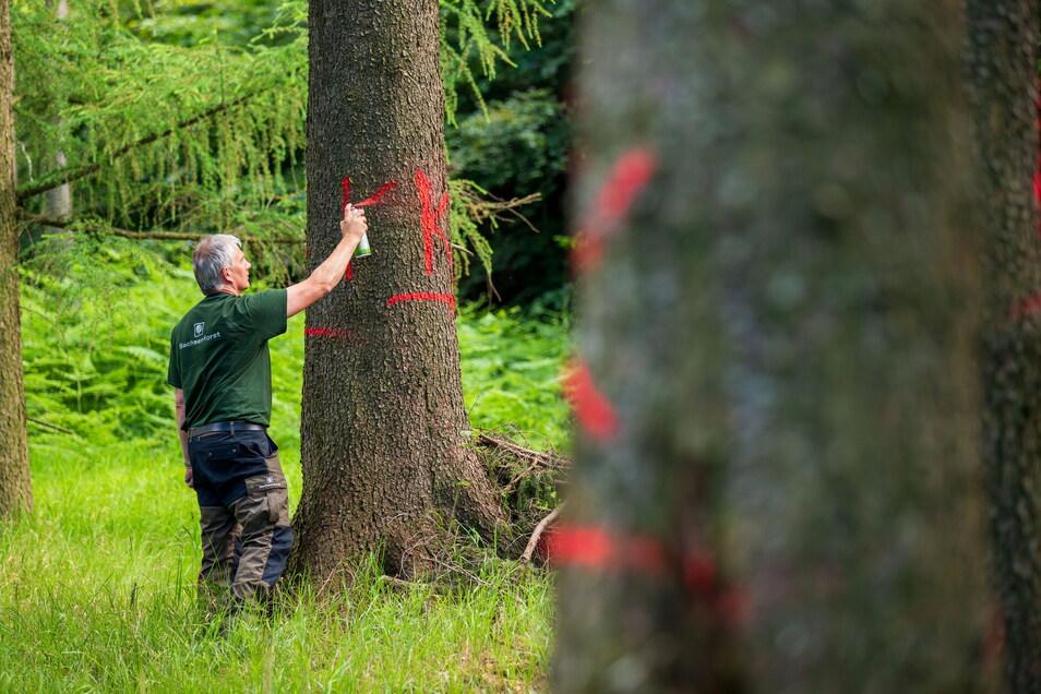 Bäume, die mit dem Borkenkäfer befallen sind, werden von Revierförster Christian Schmidt mit Farbe markiert.