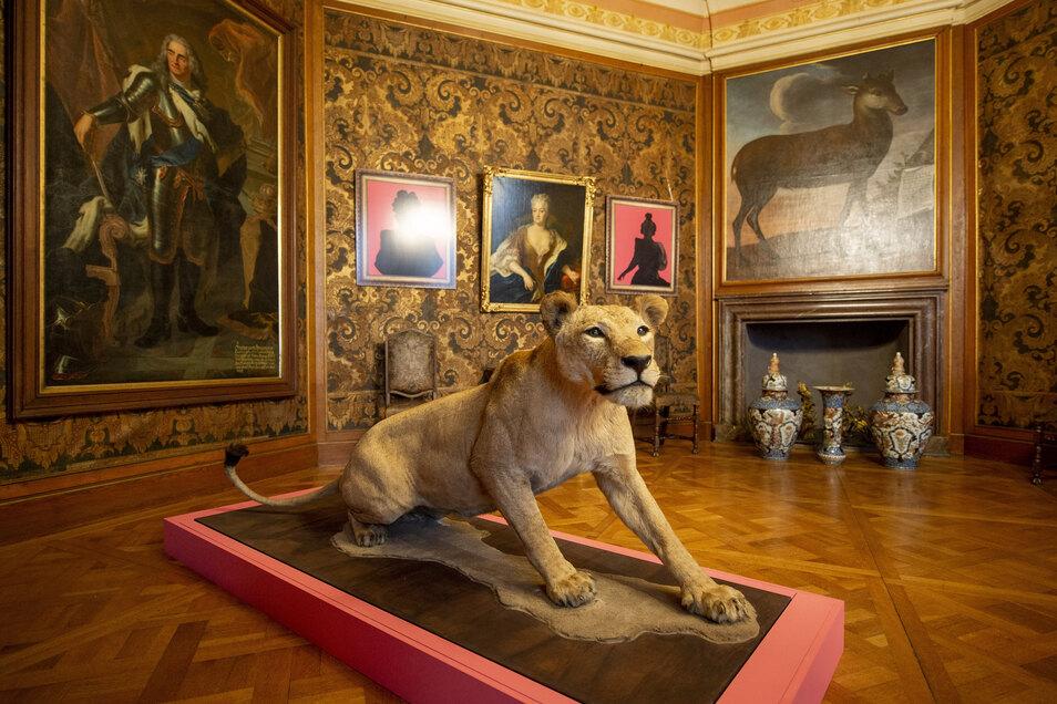 Extra aus dem Naturkundemuseum Berlin geholt worden, veranschaulicht diese Löwin eine Facette der schillernden Figur August des Starken: Angeblich ist er von einer solchen Raubkatze genährt worden, was seine außergewöhnlichen Körperkräfte erklärt.