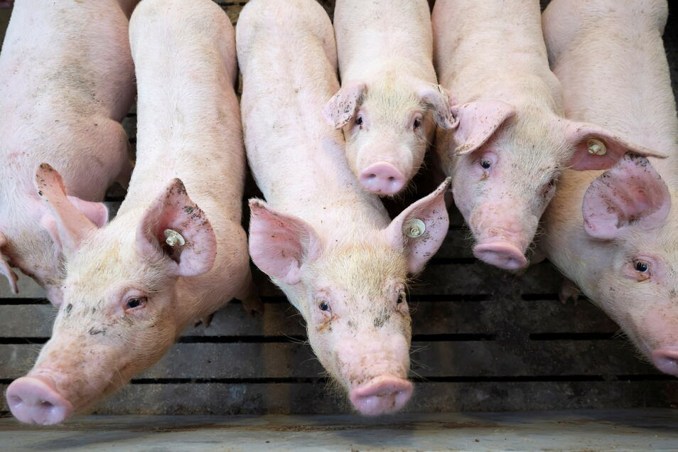 Im Landkreis Bautzen gibt es 310 Schweinhalter mit insgesamt reichlich 79.000 Tieren. Würde die Afrikanische Schweinepest bei einem Hausschwein festgestellt, müsste unverzüglich der gesamte Bestand des Schweinehalters getötet werden.
