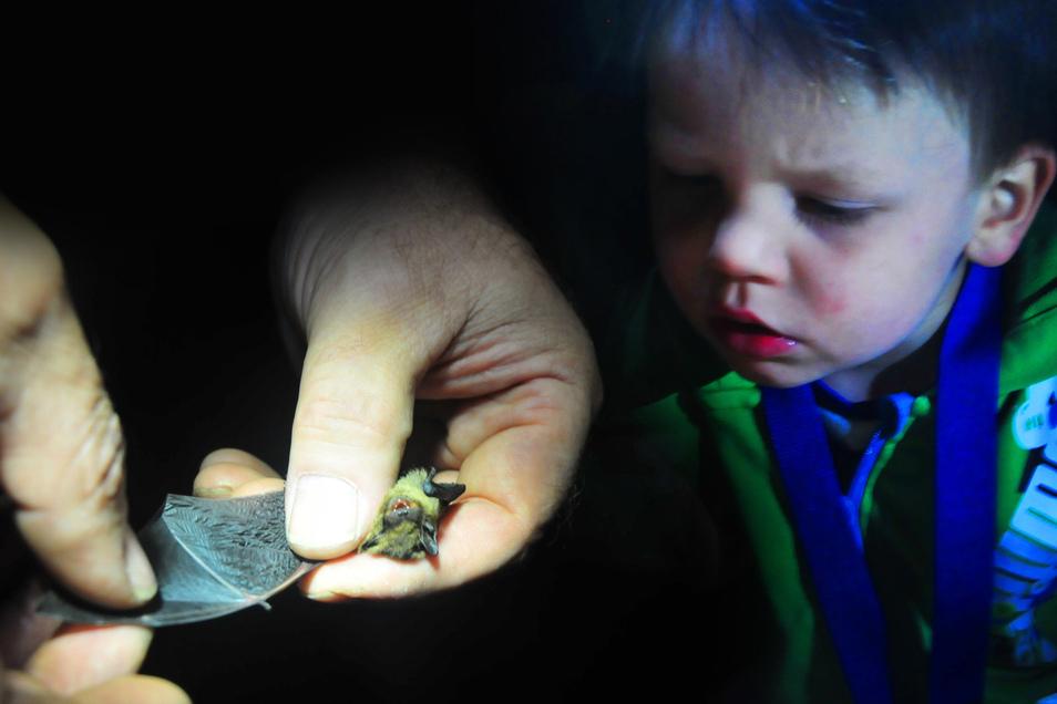 Die Mückenfledermaus ist die kleinste von 25 in Deutschland vorkommenden Arten. Zur Fledermausnacht am Sonnabend bestehen gute Chancen, einige davon zu Gesicht zu bekommen.