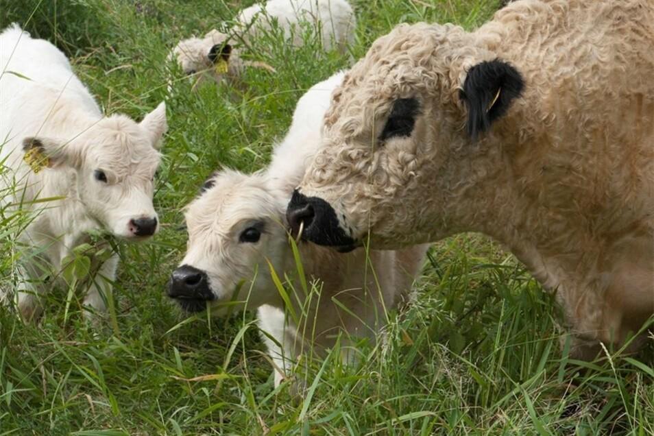 Bulle Fred kümmert sich gern um seinen ersten Nachwuchs Alma, Arthur und Albert.