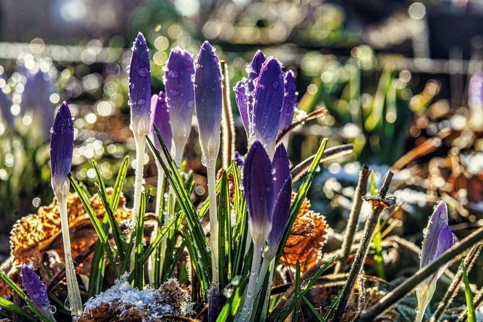 Krokusse gehören zu den ersten Frühlingsboten im Garten. In Bischofswerda müssen Gartenbesitzer in Zukunft mehr Geld für die Pacht ausgeben.