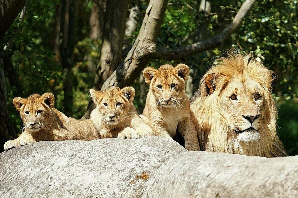 Die drei noch namenlosen Löwenjungen mit ihrem Vater Majo (r).