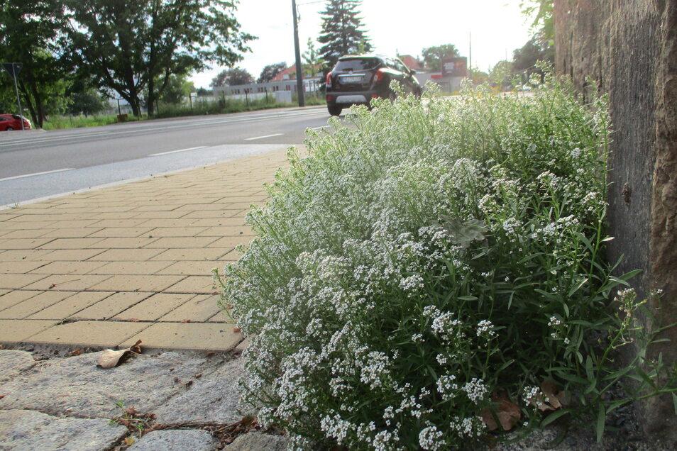 Blüht schön, gehört aber nicht auf den neuen Gehweg an der Meißner Straße.