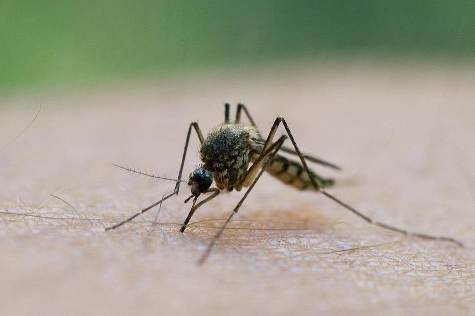 Das West-Nil-Virus ist ein aus Afrika stammender Erreger. Infizierte Mücken können auch den Menschen anstecken.