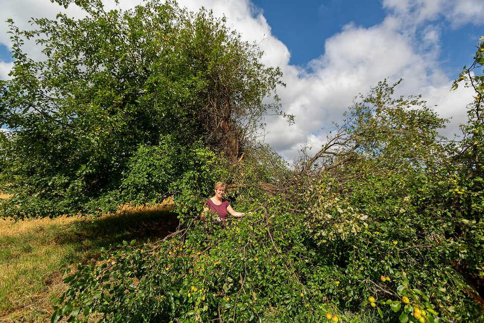 Anke Proft betreute im Rahmen des Wildapfelprojektes der Grünen Liga diesen Wildapfelbaum auf der Kalkhöhe bei Cunnersdorf, nun ist er abgebrochen.