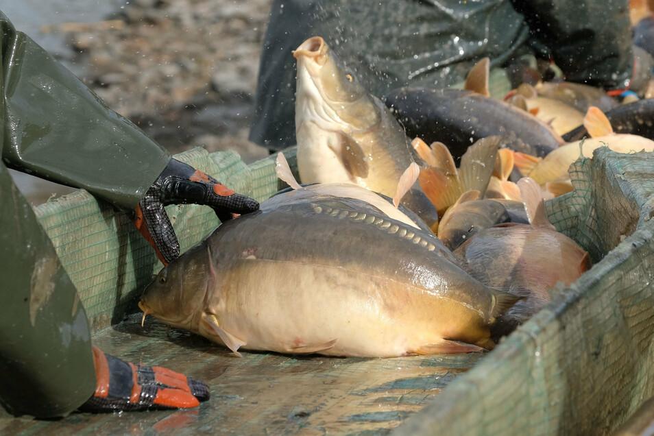 Sachsen ist bundesweit zweitgrößter Produzent von Karpfen nach Bayern. Bis zu 3.500 Tonnen Fisch wird hier pro Jahr gefangen und verkauft.