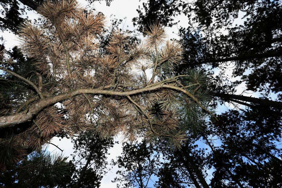 Teilweise braun verfärbt sind die Schwarzkiefern in Deutschlands größtem Schwarzkiefernwald auf dem Volkenberg.