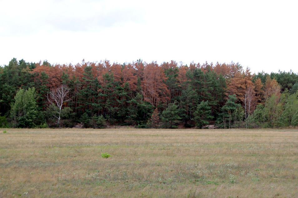 Immer mehr Bäume färbten sich in den zurückliegenden Monaten braun. In diesem Sachsenforst-Waldstück im Bereich des Koschendamms bei Geierwalde wüten Borkenkäfer. Erst in dieser Woche begann die Schadholz-Beseitigung.