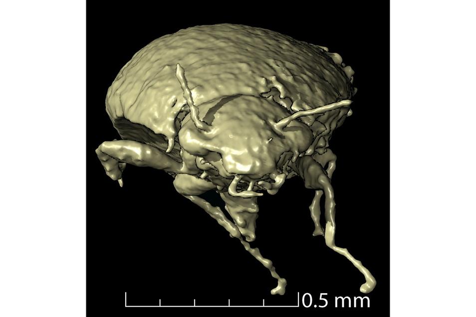 Fast vollständige Exemplare einer frühen Käferart haben geschätzte 230 Millionen Jahre in versteinertem Dinosaurierkot überdauert.