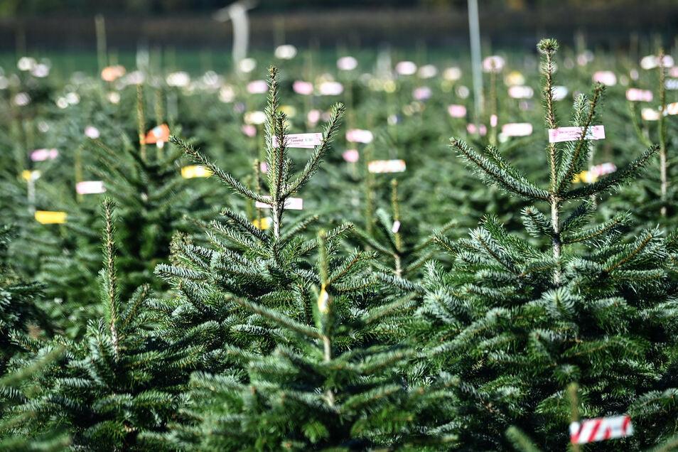 Wenn schon kein Weihnachtsmarkt, sollen doch wenigstens Weihnachtsbäume in der Adventszeit Heidenaus Thälmannstraße schmücken.
