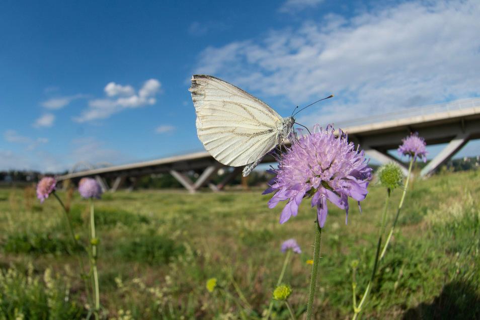 Viele Schmetterling fühlen sich wie dieser Weißling an der Waldschlößchenbrücke wohl. Dort siedeln sich immer mehr Arten an.