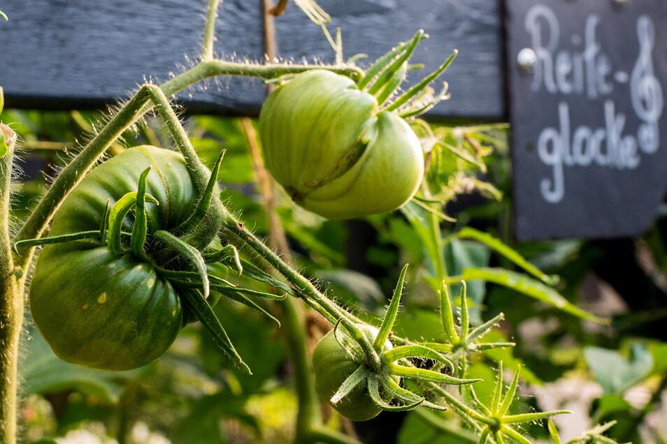 In diesem Jahr hat Michael Berndt in seinem Garten erstmals Tomaten gepflanzt, darunter grüne Zebra-Tomaten.
