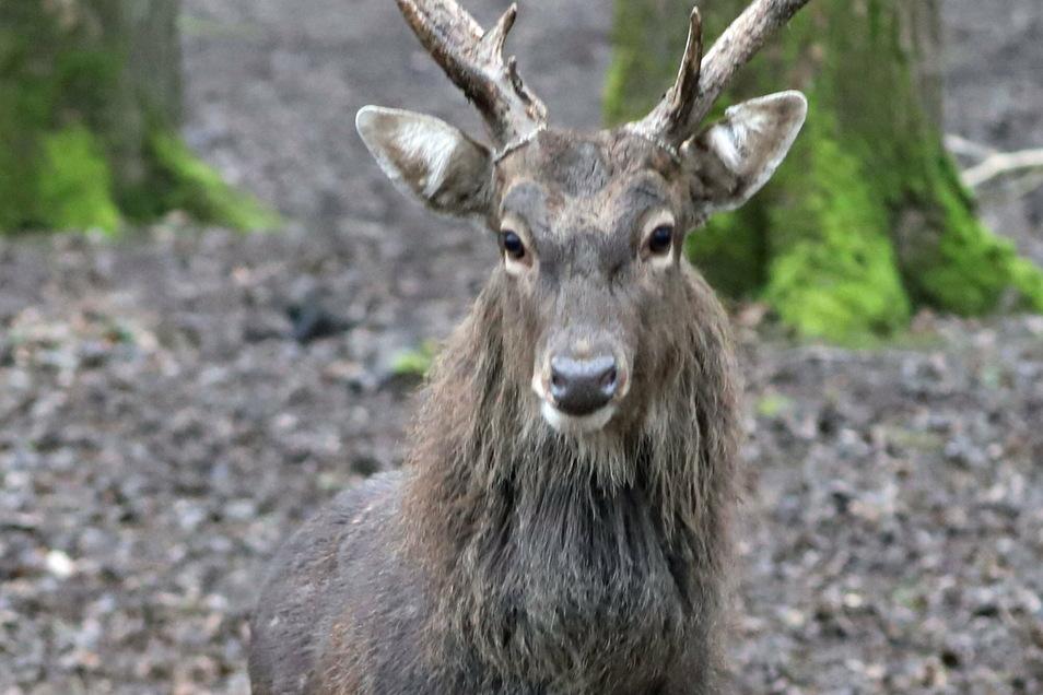Frei lebende Sika-Hirsche gibt es in der Sächsischen Schweiz nicht - nur in Wildgehegen. Umso ominöser ist daher der Fund eines toten Tieres im Hohwald.