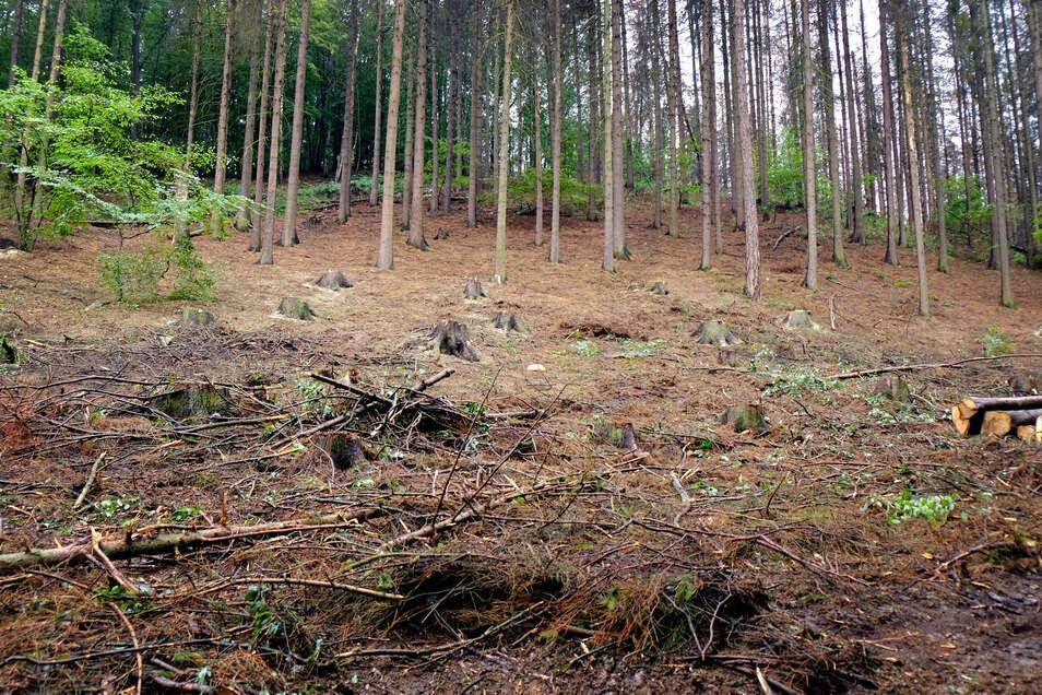 Fichten fallen flächendeckend dem Borkenkäfer zum Opfer. Nossen trifft es besonders hart. Rund ein Viertel seines Stadtwaldes wird derzeit abgeholzt.