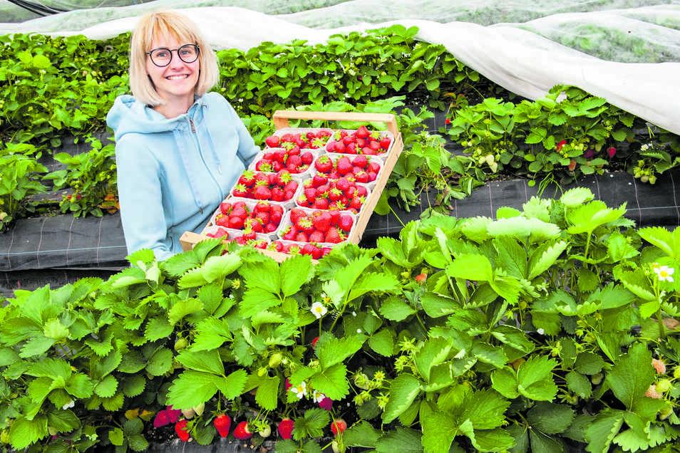 Elizabeth Schöne vom Spargelhof in Ponickau hat allen Grund zum Strahlen: Die ersten Erdbeeren machen ihrem Aussehen wirklich alle Ehre: Knallrot, groß und vollmundig süß schmecken die Früchte, die im Zelt herangezogen worden sind.