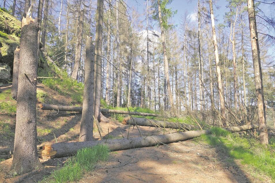 So sehen Wege aus, auf denen der Nationalpark auf präventive Fällungen verzichtet. Dieser Weg in der hinteren Böhmischen Schweiz nahe Brtnický hrádek (Zeidlerburg) soll später freigeschnitten werden.