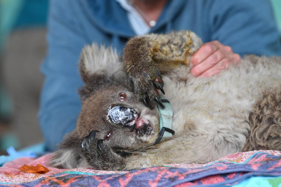 Tierärzte und Freiwillige behandeln im Feuer verletzte Koalas auf der Känguru-Insel. Wegen der verheerenden Buschfeuer sind nach jüngsten Expertenschätzungen eine Milliarde Tiere ums Leben gekommen.