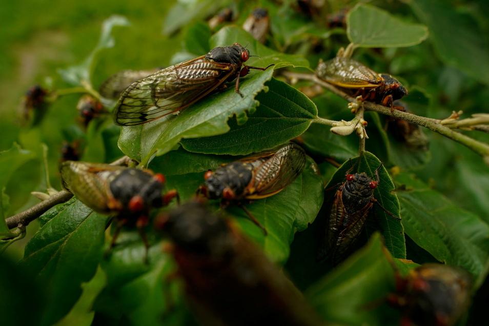 USA, Chevy Chase: Ausgewachsene Zikaden sitzen auf einer Pflanze. Experten erwarten in Kürze das Auftauchen von Milliarden der Insekten in 15 US-Bundesstaaten.
