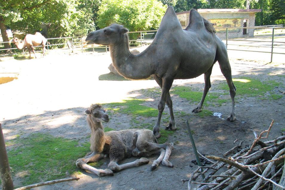 ünf Wochen alt ist der kleine Kamelhengst im Tierpark Weißwasser. Nachdem er sich anfangs schwer mit dem Trinken der Muttermilch tat und deshalb zugefüttert werden musste, ist er inzwischen putzmunter. Sehr zur Freude der Tierpfleger – und natürlich