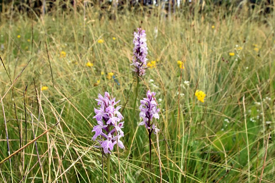 Jedes Jahr aufs Neue schön: Die Standorte mit der Orchideenart Geflecktes Knabenkraut im Dubringer Moor.