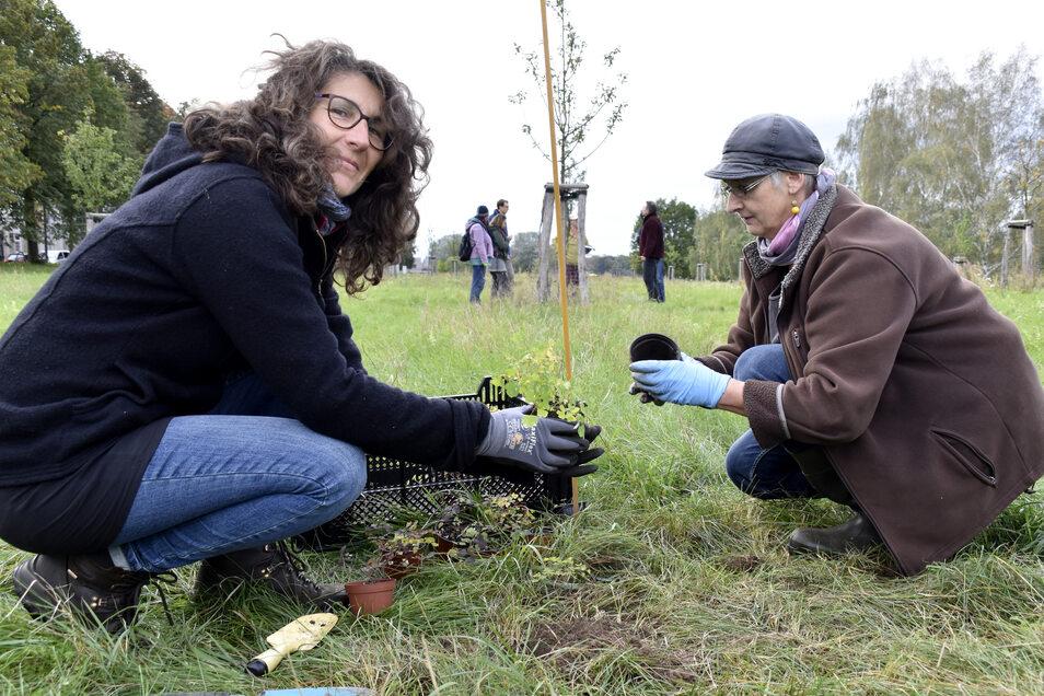 Nahe des Fährgartens in Johannstadt kamen am Sonntag die Kleinen Wiesenrauten in die Erde.