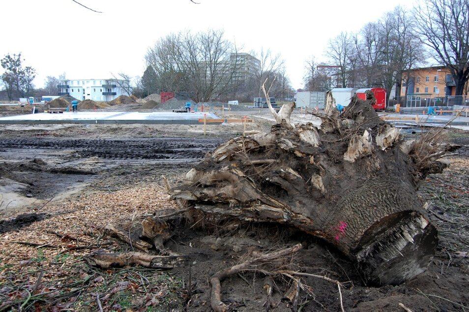 Dem Vernehmen nach fielen im Dezember im Bereich Hufeland-/ Heimstraße im WK V zusätzlich sechs größere Bäume.