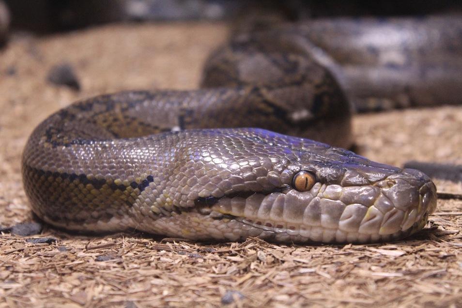 Zum zweiten Mal innerhalb weniger Tage ist in Conington  ein Python gefunden worden. Das etwa drei Meter lange Tier wurde in der Nähe von der Stelle entdeckt, an der erst am Freitag Tierschützer eine Schlange von einem Baum geholt hatten.