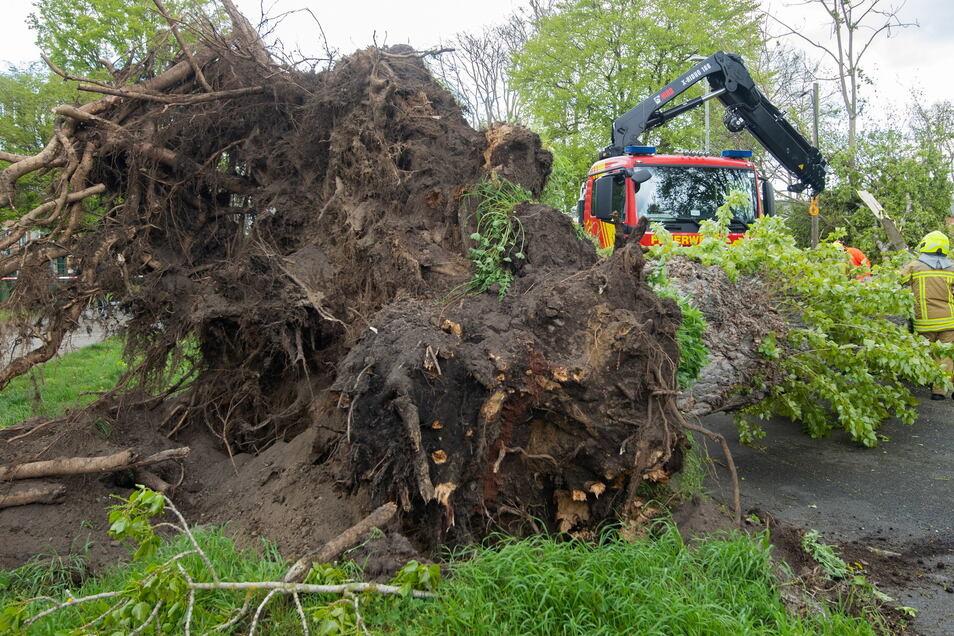 Feuerwehrkräfte bergen eine umgestürzte Pappel im Heideviertel in Hannover.