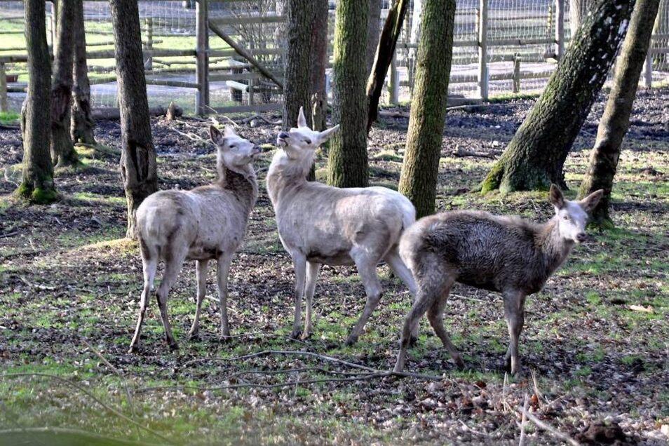 Der Hirsch ist weg, die drei übrigen Tiere ziehen sich am Tag nach dem heimtückischen Übergriff ängstlich zurück.