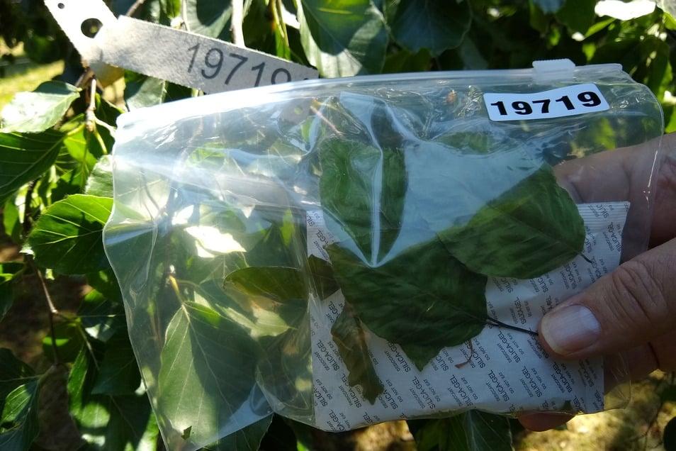 Erstmals wird der Wald auch genetisch analysiert, um die Herkunft der Bäume zu bestimmen. Allein Sachsen liefert 170 Proben.