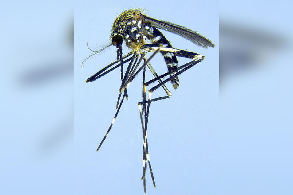 Asiatische Buschmücke: Der Japanische Buschmoskito brütet gern in alten Autoreifen und überträgt Erreger verschiedener Enzephalitis-Arten.