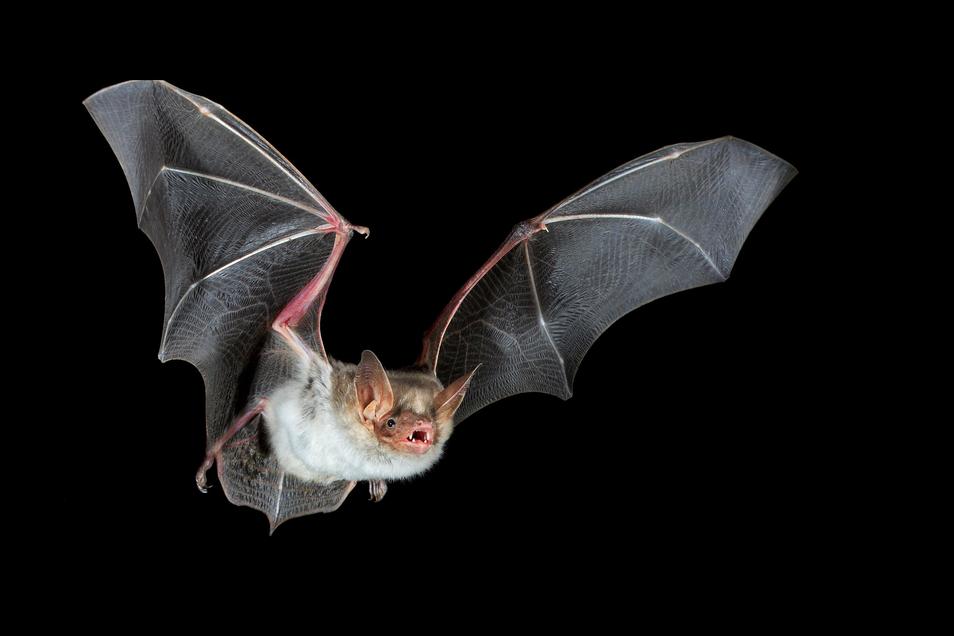 In Mittelsachsen siedeln sich immer mehr Fledermausarten an. |