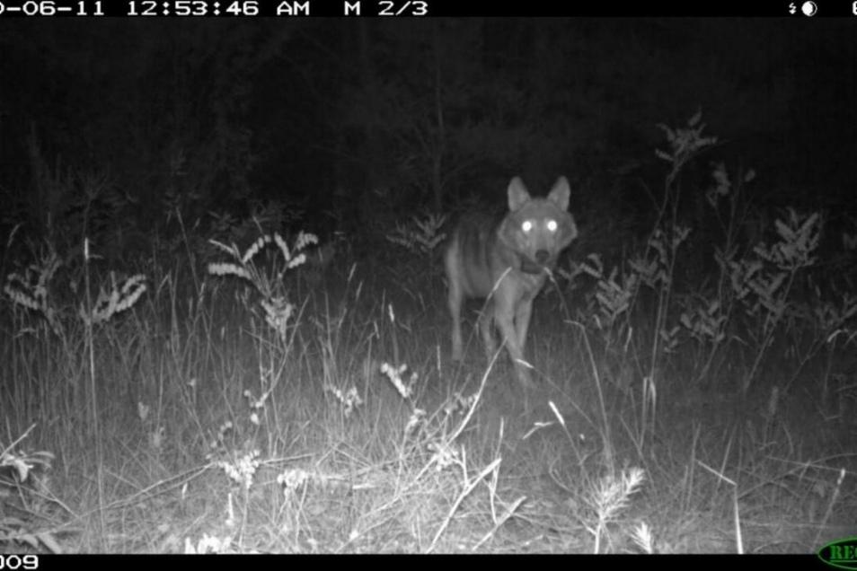 """Dieses Foto vom besenderten Wolfsrüden """"Peter"""" wurde mit einer Wildkamera gemacht."""