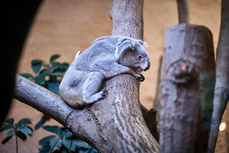 Mullaya, der 2013 in den Zoo kam, bereitet den Pflegern gerade Sorgen. Er frisst zu wenig, was bei Koalas schneller fatale Folgen haben kann als bei anderen Tieren.