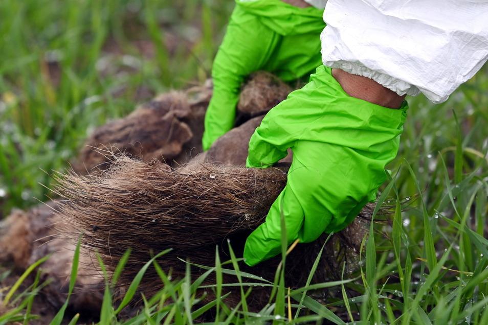 Eine Veterinärmedizinerin untersucht einen Wildschweinkadavers auf die Afrikanische Schweinepest.