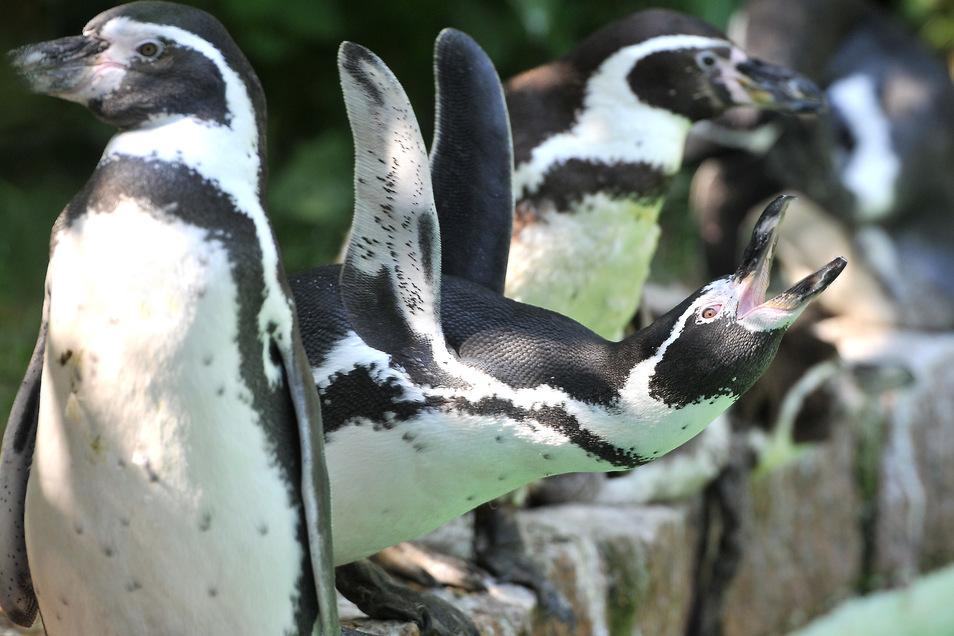 Mit dem Geld des Lions-Clubs konnte sich der Tierpark ein Pinguinpärchen kaufen.