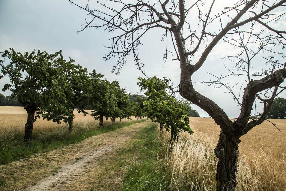 Die Kirschallee in Große Radisch hat einige Lücken. Diese sollen mit jungen Bäumen wieder gefüllt werden.