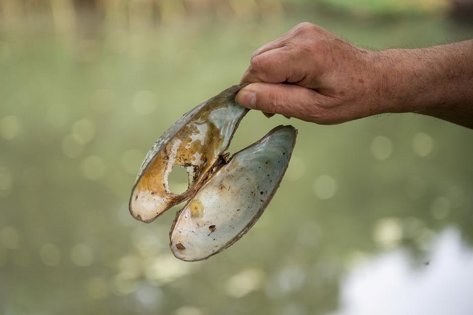 Eine große Teichmuschel hat den Wassermangel nicht überlebt, wie viele ihrer Art, die Karl-Heinz Neumann zeigt.