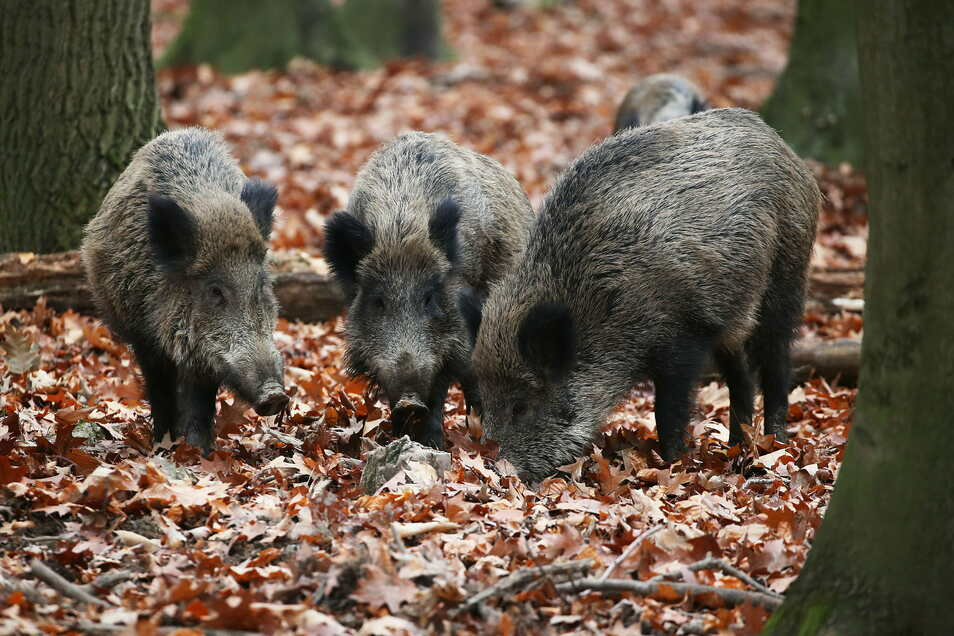 Die Seuche rückt näher. Von der Böhmischen Schweiz bis zum Riesengebirge werden Tiere abgeschossen.