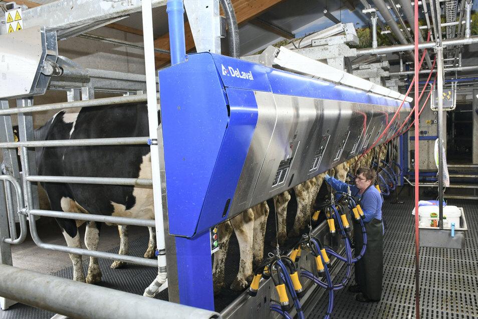 Nur das Anlegen des Melkgeschirrs erfolgt im modernisierten Melkhaus der Agrargenossenschaft Daubitz noch per Hand.