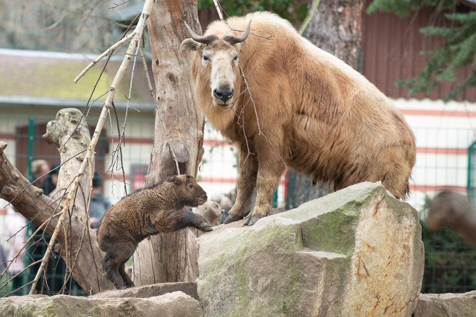 Auch bei den Goldtakinen im Dresdner Zoo kommen jetzt keine Besucher mehr vorbei.