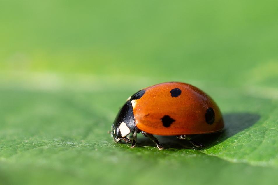 Teilnehmer an der Zählaktion sollten auf den Siebenpunktmarienkäfer (Foto) und den Asiatischen Marienkäfer achten.