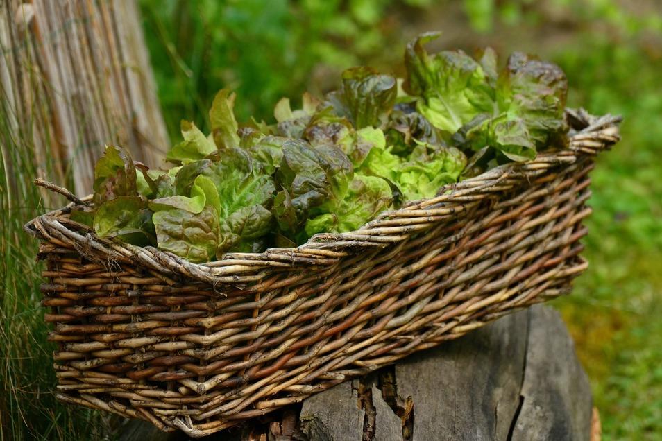 Fast das ganze Jahr kann Salat geerntet werden - mit einem geschickten Anbauplan.