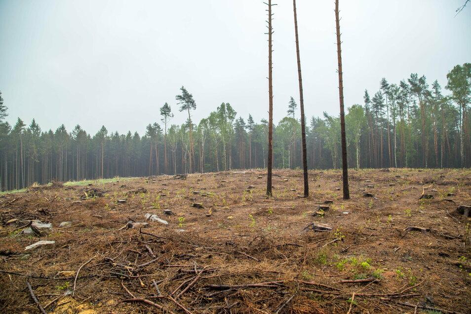 Der Borkenkäfer fiel besonders über die Wälder in den Königshainer Bergen her. Tiefe Schneisen wurden im Kampf gegen den Käfer geschlagen.
