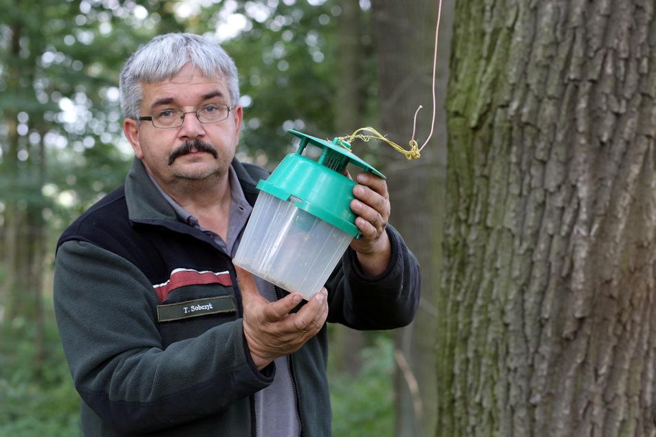 Eine Falle für die Eichenprozessionsspinner. Forstwirt Thomas Sobczyk vom Landratsamt Bautzen prüft, ob sich Tiere darin befinden.